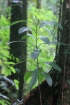 Syzygium borbonicum J. Guého et A.J. Scott