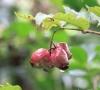 Syzygium cymosum (Lam.) DC Bois de pomme rouge