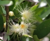 Syzygium samarangense (Blume) Merr. et L.M. Perry