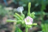 Nicotiana tabacum L