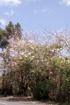 Tabebuia, poirier pays ou arbre à trompettes roses. Tabebuia rosea