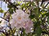 Fleurs Tabebuia, poirier pays ou arbre à trompettes roses. Tabebuia rosea