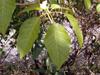 Feuilles Tabebuia, poirier pays ou arbre à trompettes roses. Tabebuia rosea