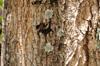 Tronc Tabebuia, poirier pays ou arbre à trompettes roses. Tabebuia rosea