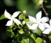 Tabernaemontana corymbosa Roxb.ex mur Fleur de l'amour