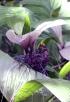 Tacca chantrieri. Fleur chauve-souris.