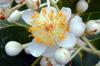 Fleurs : Takamaka - Calophyllum inophyllum