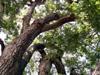 Tamarin des hauts. Acacia hétérophylla.