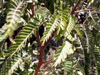 Tamarin des hauts. Acacia hétérophylla. feuilles