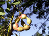 Fruit Tamarin d'Inde. Pithecellobium dulce.