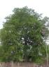 Tamarindus indica L