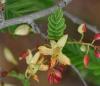 Tamarinier fruit tamarin