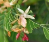 Fleurs : Tamarindus indica L.