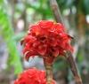 Tapeinochilos ananassae (Hassk.) K.Schum