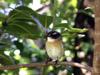 Tec-tec. Saxicolas tectes. Oiseau endémique de La Réunion
