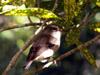 Tec-tec, Saxicolas tectes, Oiseau endémique de La Réunion