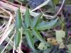 Tecoma stans (L.) Juss. ex Kunth. Feuilles.