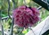 Fleurs Tecomanthe dendrophylla.