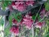 Tecomanthe dendrophylla. Liane de La Réunion