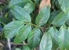 Tecomanthe dendrophila