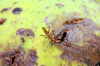 Telostylinus lineolatus Wiedemann, 1830, mouche à longues pattes