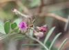 Tephrosia purpurea. Fleurs