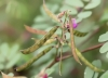 Tephrosia purpurea. Gousses