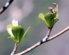 Terminalia mantaly H. Perrier