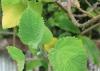 Tetradenia riparia (Hochst.) Codd.
