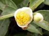 Fleur Camellia senensis Théier Thé
