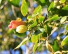 Thespesia populnea, fleurs.