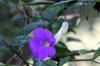 Fleur : Thunbergia erecta