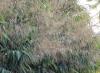 Thysanolaena latifolia (Roxb. ex Hornem.) Honda