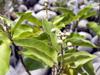 Ti bois de senteur - Croton mauritianus Arbuste endémique de La Réunion