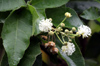 Fleurs Croton mauritianus. Ti bois de senteur