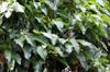 Feuilles Croton mauritianus. Ti bois de senteur