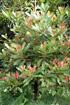 Labourdonnaisia calophylloides Bojer. Ti natte ou Petit natte.