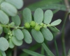 Phyllanthus amarus Thonn