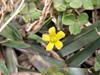 Oxalis corniculata L