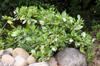 Tiaré, Gardenia taitensis