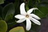 Tiaré, Fleur de Tiaré