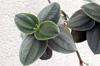 Tibouchine à grandes feuilles - Tibouchina grandifolia Flore La Réunion