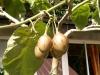 Solanum betaceum Cav.