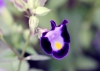 Torenia fournieri Linden ex E. Fourn