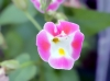 Fleur rose Torenia fournieri.