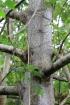 Trema orientalis (L.) Blume