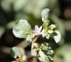 Trianthema portulacastrum. Brède cacayanga.