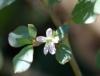 Trianthema portulacastrum L