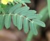 Tribulus cistoides L.
