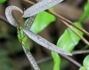 Trichosandra borbonica Decne.